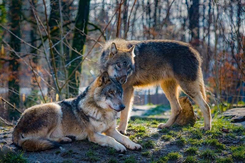diferencias lobos y perros