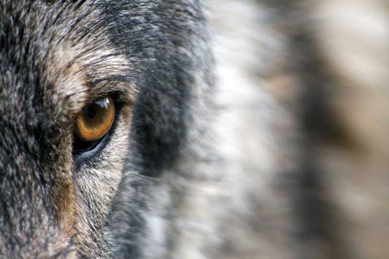 lobo diferencia perro