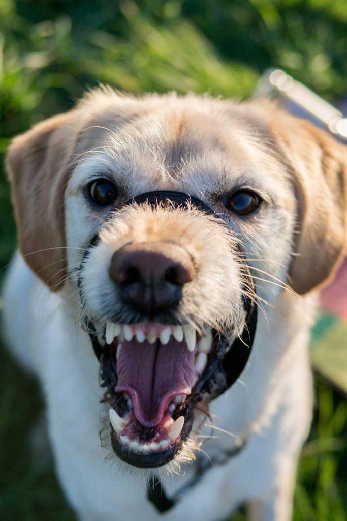 perro agresivo labrador