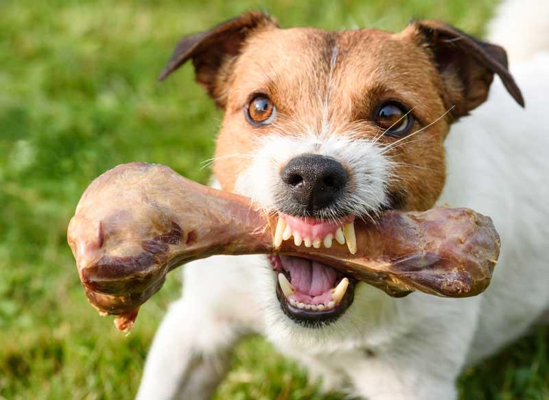 perro agresivo proteccion de recursos