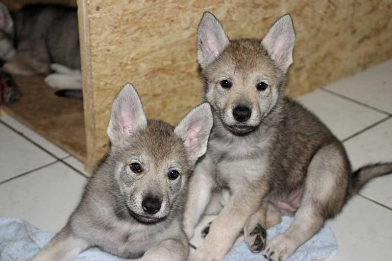 perros lobo checoslovaco cachorros