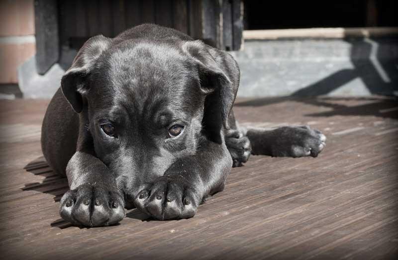 razas de perros miedosos