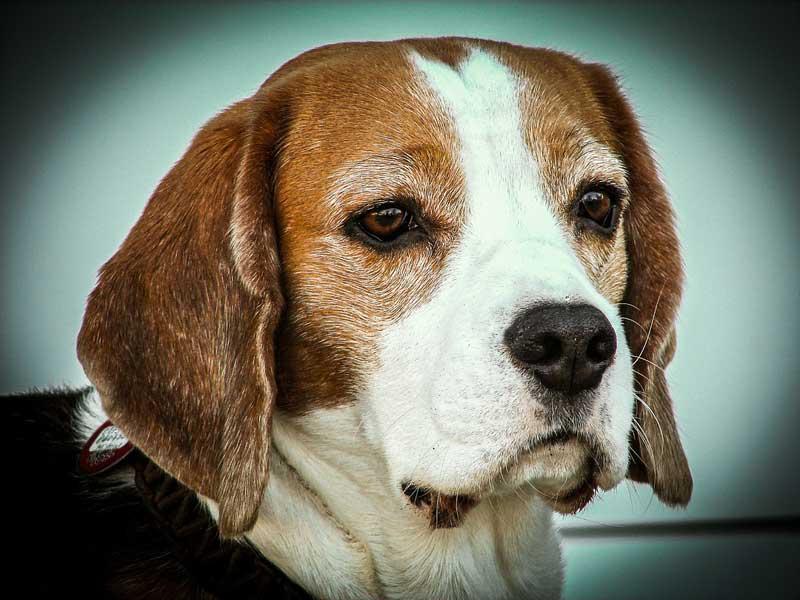adiestrador canino beagle