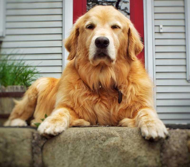 adiestrador canino golden retriever