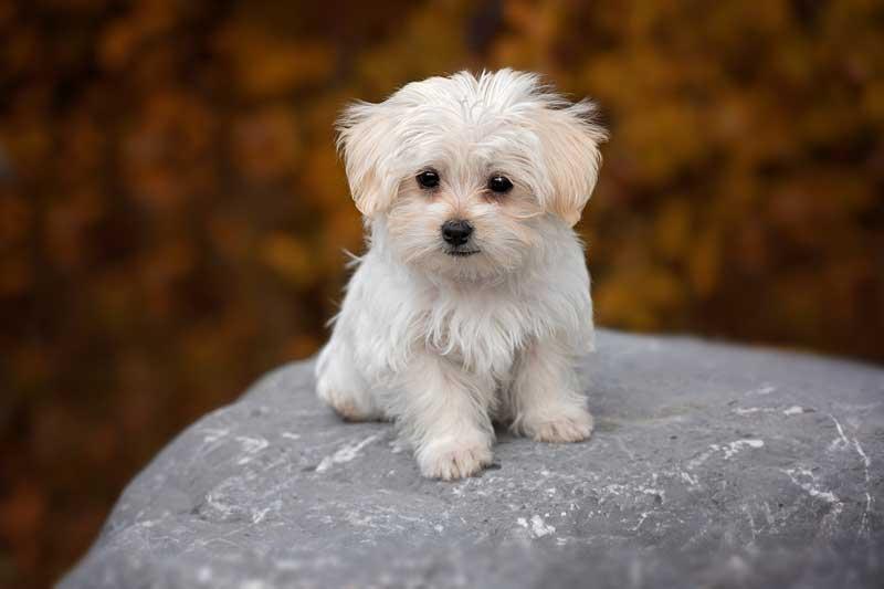 adiestrador canino valencia bichon maltes