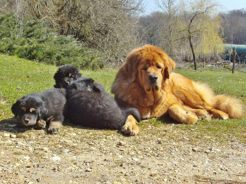 adiestrador canino valencia mastin tibetano