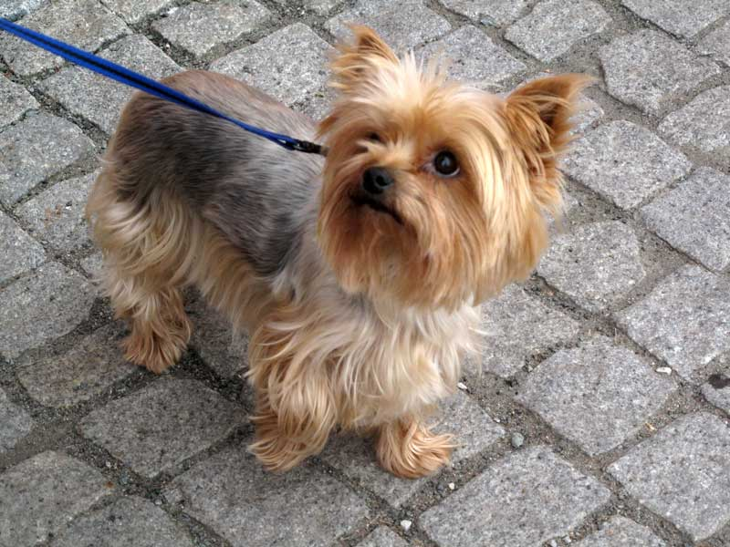 adiestrador canino valencia yorkshire terrier
