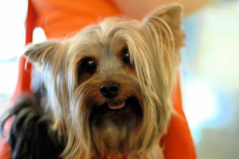 adiestrador de perros valencia yorkshire terrier