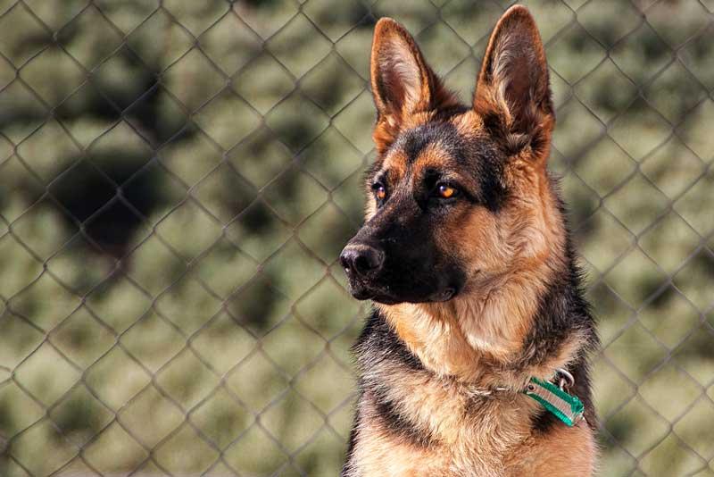 adiestramiento canino en valencia pastor aleman