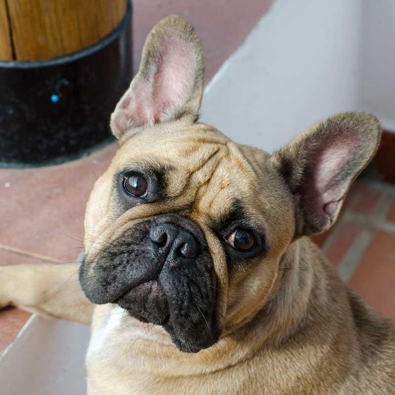 adiestramiento canino valencia bulldog frances