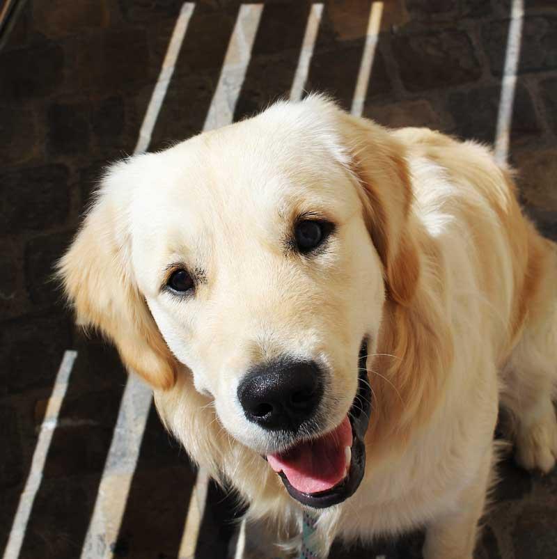 adiestramiento canino valencia golden retriever