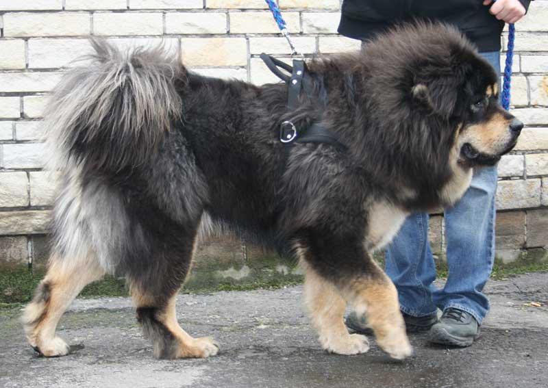 adiestramiento canino valencia mastin tibetano