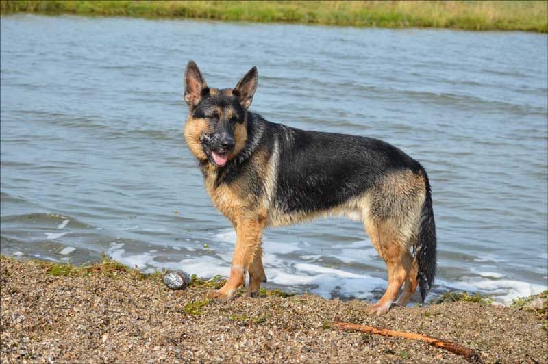 adiestramiento canino valencia pastor aleman