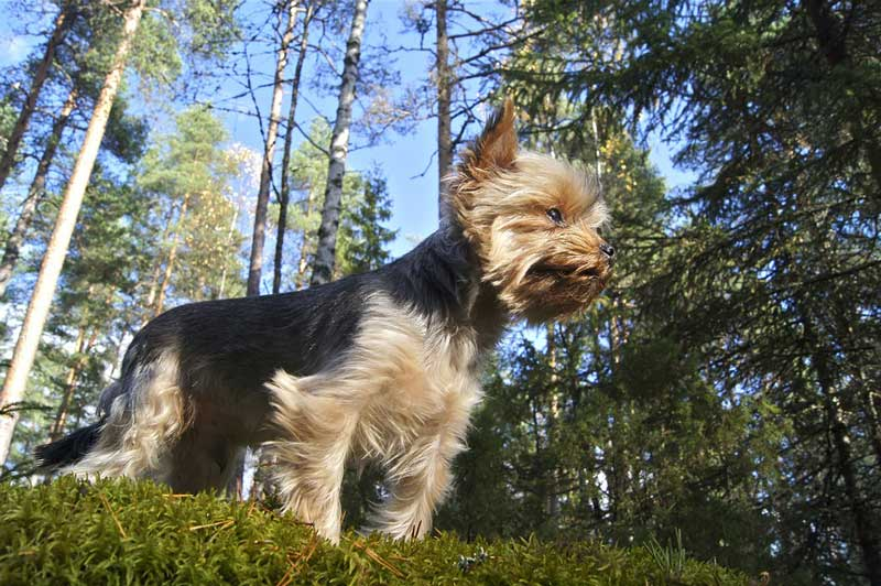 adiestramiento canino valencia yorkshire terrier