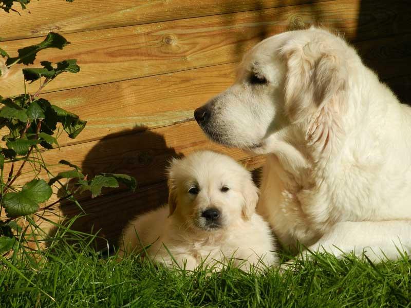 como educar a un cachorro golden retriever