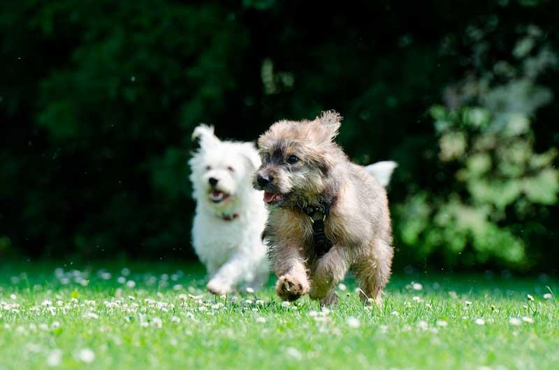 dos perros juntos corriendo