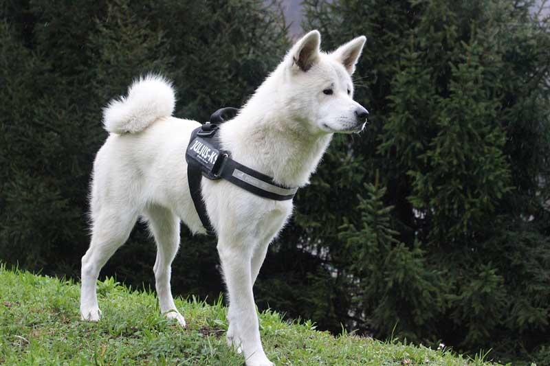 mitos de los perros dominantes