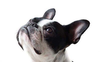Adiestramiento Canino Cognitivo Emocional vs Conductismo