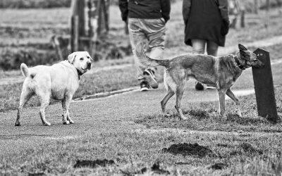 Cómo NO Socializar a un Perro Agresivo: los Paseos de Socialización NO son la Solución