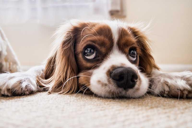 tu perro piensa y te quiere entrenar perros no es como te lo habian contado