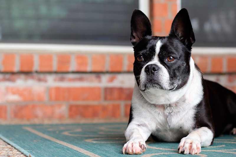 Cómo enseñar a un Perro a Tumbarse